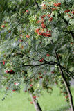Rowan tree in garden Stock Photography