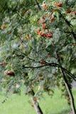 Rowan tree in garden. Close-up Stock Photography