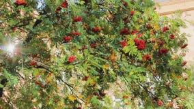 Rowan tree glare  berries  autumn  green season stock video footage