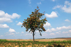 Rowan tree grows in the middle of the field Stock Photos