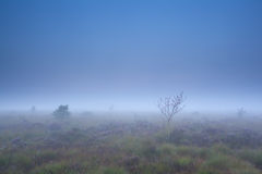 Rowan tree and heather on marsh in dense fog Stock Photography