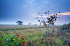 Rowan tree and heather on marsh in morning Royalty Free Stock Image