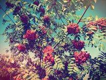 Rowan tree Royalty Free Stock Images