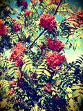 Rowan tree. In the hot sunny day stock photography