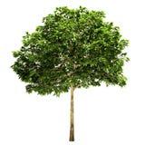 Rowan Tree Isolated Royalty Free Stock Photo