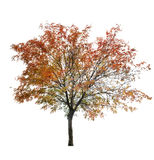Rowan tree at late autumn on white Stock Image