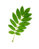 Rowan Tree Leaf Stock Photos