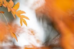 Rowan tree leaves in autumn colors. Rowan tree Sorbus aucuparia leaves in vivid orange autumn colors royalty free stock photo