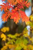 Rowan tree leaves in autumn colors. Rowan tree Sorbus aucuparia leaves in vivid red and orange autumn colors royalty free stock image