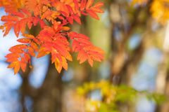 Rowan tree leaves in autumn colors. Rowan tree Sorbus aucuparia leaves in vivid red and orange autumn colors royalty free stock photos