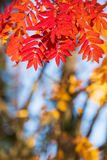 Rowan tree leaves in autumn colors. Rowan tree Sorbus aucuparia leaves in vivid red and orange autumn colors royalty free stock images