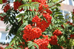 Rowan tree leaves with berries 18571 Stock Photos