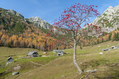 Rowan tree on mountain meadow. High mountains in the background Royalty Free Stock Photography