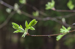 Rowan tree natural fresh leaves on dark background Stock Photography