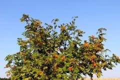 Rowan tree Royalty Free Stock Photos