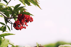 Rowan tree postcard background. Rowan tree, Close-up of bright rowan berries on a tree on a sunny day Stock Image