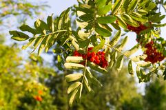 Rowan tree with red berries at autumn. background, nature, medical. Rowan tree with red ripe berries at autumn. background, nature, medical Royalty Free Stock Photos