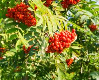 Rowan tree with red berries at autumn. background, nature, medical. Rowan tree with red ripe berries at autumn. background, nature, medical Stock Image