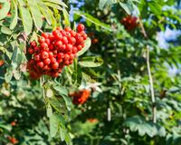 Rowan tree with red berries at autumn. background, nature, medical. Rowan tree with red ripe berries at autumn. background, nature, medical Stock Photo