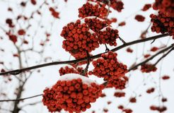 rowan tree red berries branch forest winter snow cold weather blur background royalty free stock photos
