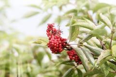 Rowan tree red berries. Rowan tree, Close-up of bright rowan berries on a tree on a sunny day Stock Photo