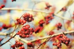 Rowan tree red berries. Rowan tree, Close-up of bright rowan berries on a tree on a sunny day Stock Photos