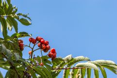 Rowan tree with red berries, blue sky copy space. Rowan tree with red berries. Close up of the small tree also called Mountain Ash, Sorbus aucuparia. Blue sky Stock Photography