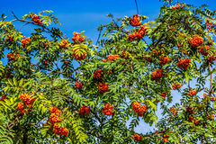 Rowan tree with red berries and leaves Stock Photos