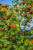 Rowan tree with red berries and leaves Royalty Free Stock Photography