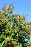 Rowan tree with red berries. Rowan tree with red berries at summy august day Stock Photos