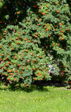 Rowan tree with red berries. Rowan tree with red berries at summy august day Royalty Free Stock Image