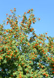 Rowan tree with red berries. Rowan tree with red berries at summy august day Royalty Free Stock Photos