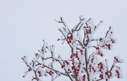 Rowan-tree with red berries under frost attack. In the winter garden Royalty Free Stock Images