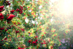 Rowan tree with red berry. In the forest Stock Images