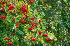 Rowan tree with red berry. In the forest Royalty Free Stock Image