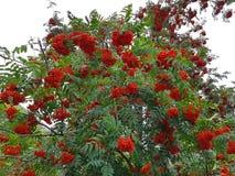 Rowan tree with red rowan berry. Rowan tree with red ripe rowan berry Royalty Free Stock Image