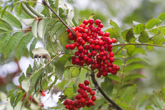 Rowan tree. Red rowan tree on a branch Stock Images