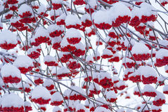Rowan tree red bunches background. Rowan tree red bunches of rowan berries winter sunny day Royalty Free Stock Image