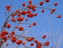 Rowan tree red bunches. Of rowan berries winter sunny day stock photos