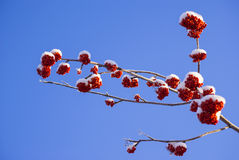 Rowan tree red bunches. Of rowan berries winter sunny day Royalty Free Stock Images