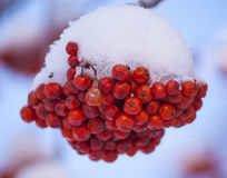 Rowan tree red bunches. Of rowan berries winter sunny day stock photo