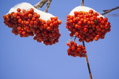 Rowan tree red bunches. Of rowan berries winter sunny day Royalty Free Stock Photo