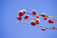 Rowan tree red bunches Royalty Free Stock Image