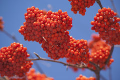 Rowan tree red bunches closeup. Rowan tree red bunches of rowan berries winter sunny day Royalty Free Stock Images