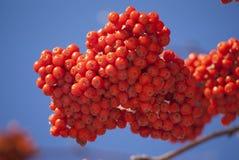 Rowan tree red bunches closeup. Rowan tree red bunches of rowan berries winter sunny day stock photography