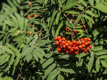 Rowan tree. With red fruits Royalty Free Stock Photo