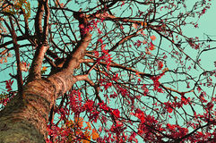 Rowan tree with red leaves against the blue clear autumn sky - autumn landscape in vintage tones Royalty Free Stock Image