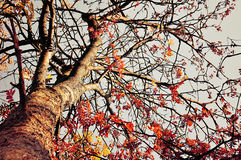 Rowan tree with red leaves against the blue clear autumn sky - autumn landscape in vintage tones Royalty Free Stock Photos
