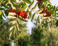 Rowan tree with red berries at autumn. background, nature, medical. Rowan tree with red ripe berries at autumn. background, nature, medical Royalty Free Stock Image