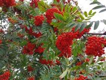 Rowan tree with red rowan berry. Rowan tree with red ripe rowan berry Royalty Free Stock Photography